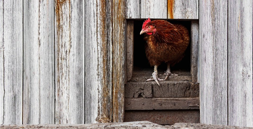 Keep your chooks safe and a poultry vet to keep them healthy