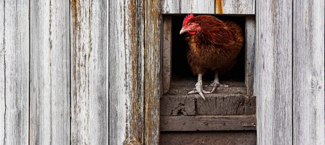 Respiratory disease in chickens